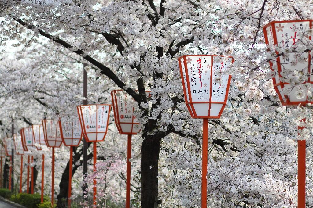 Kyoto_Cherry Blossom