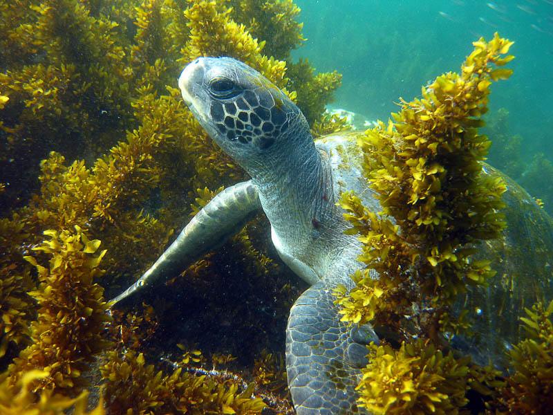 galapagos_turtle
