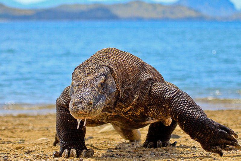 komodo-dragon-komodo-island