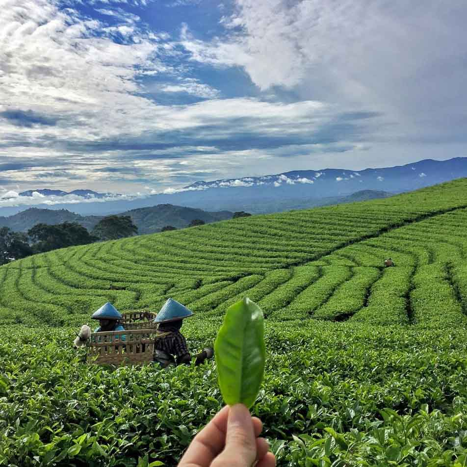 South Sumatra- Pagaralam Tea Plantation 2