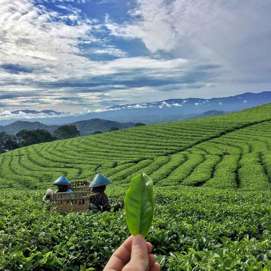 South Sumatra- Pagaralam Tea Plantation 2