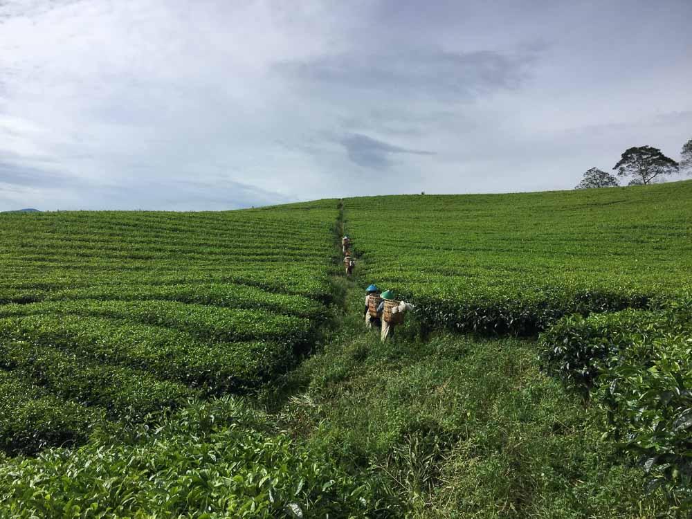 South Sumatra- Pagaralam Tea Plantation