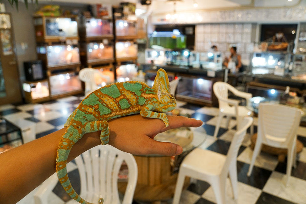 Chameleon at Rockstar Reptile Cafe - Osaka Japan Travel Guide-11