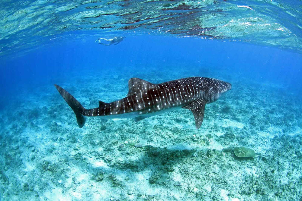 Maldives Whale Shark