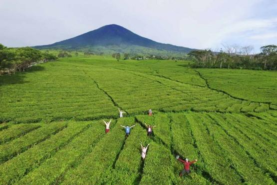 South Sumatra- Pagaralam Tea Plantation Drone Shot